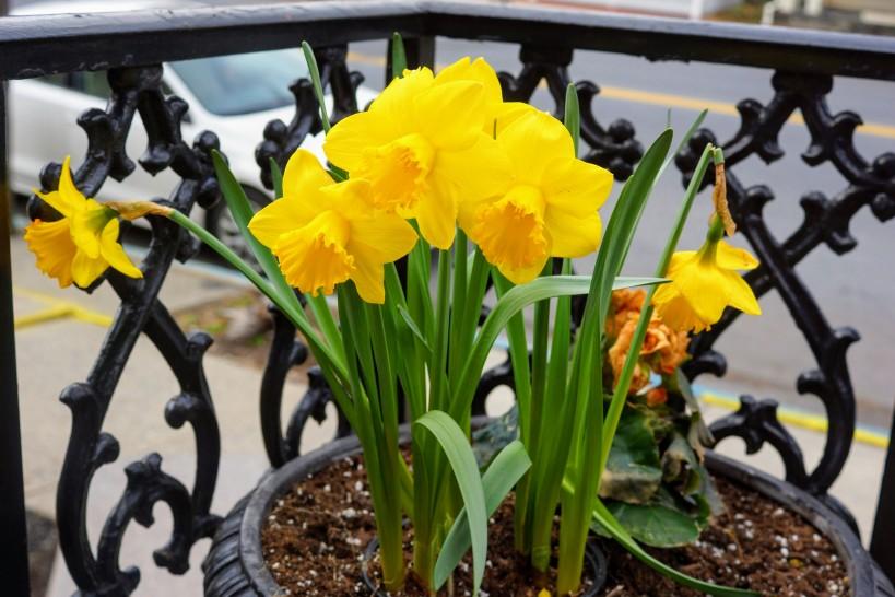daffodils 04-11-18