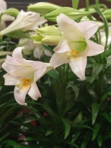 Easter Lilly for Webpage